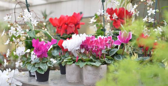 cyclomenhouseplants.jpg
