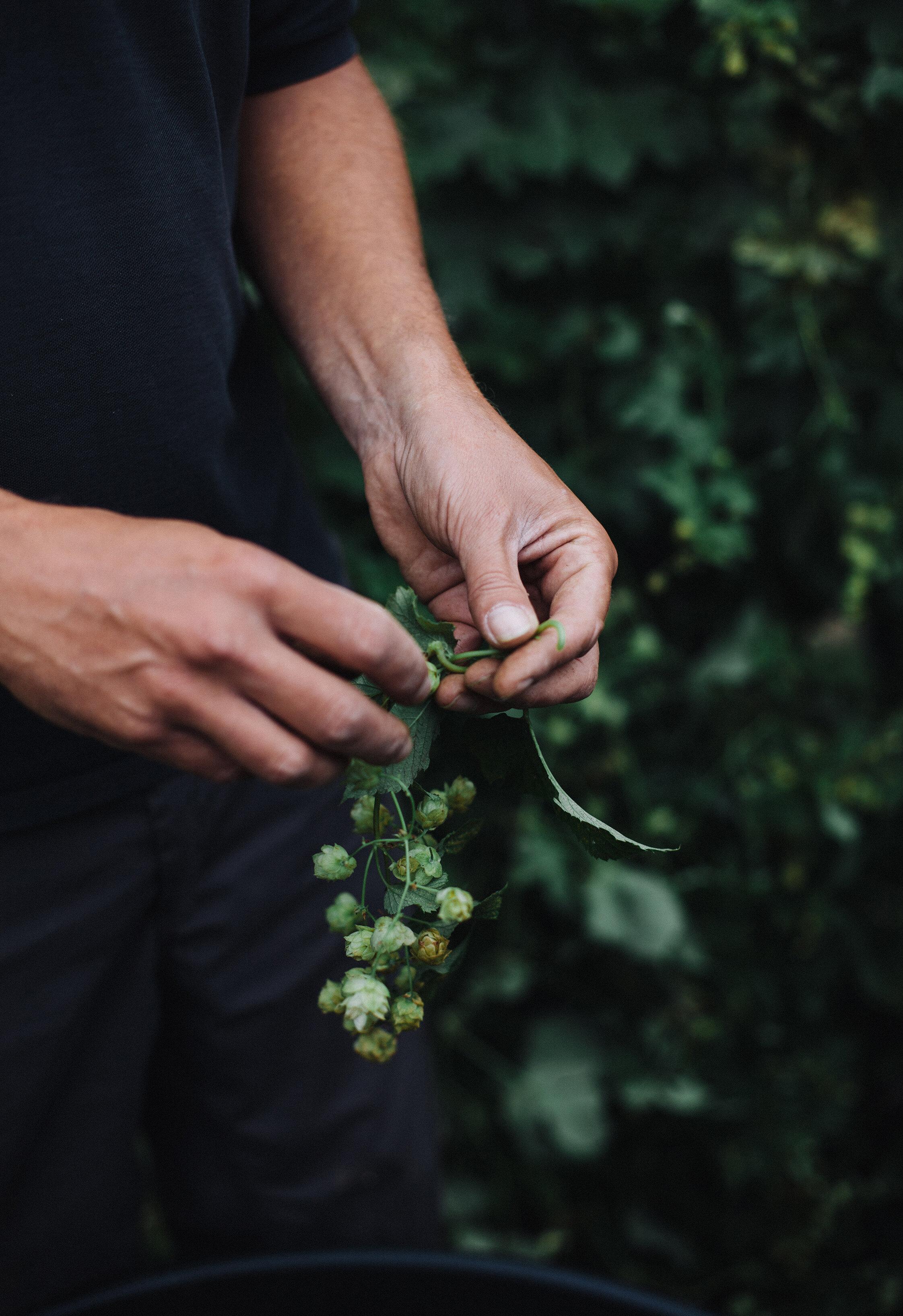 Hop Harvest - Ventnor Botanic Garden