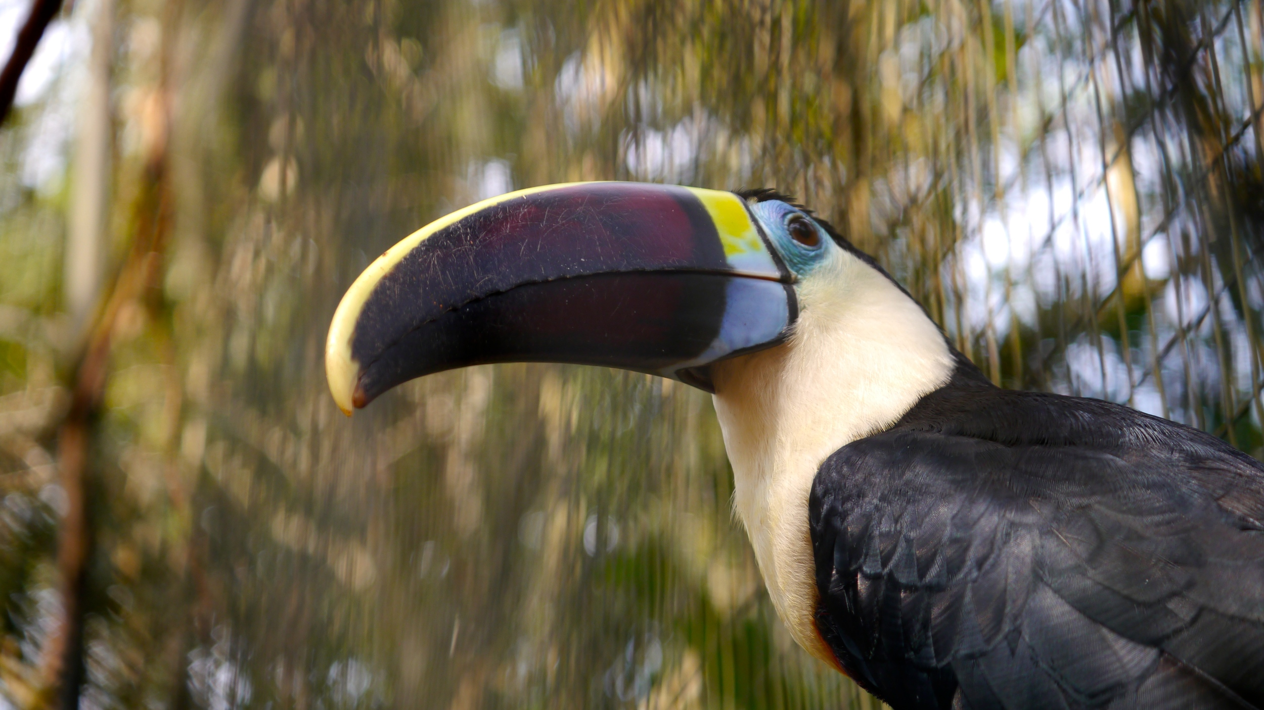 (19) There are 37 species of toucans, including this White-throated Toucan..JPG