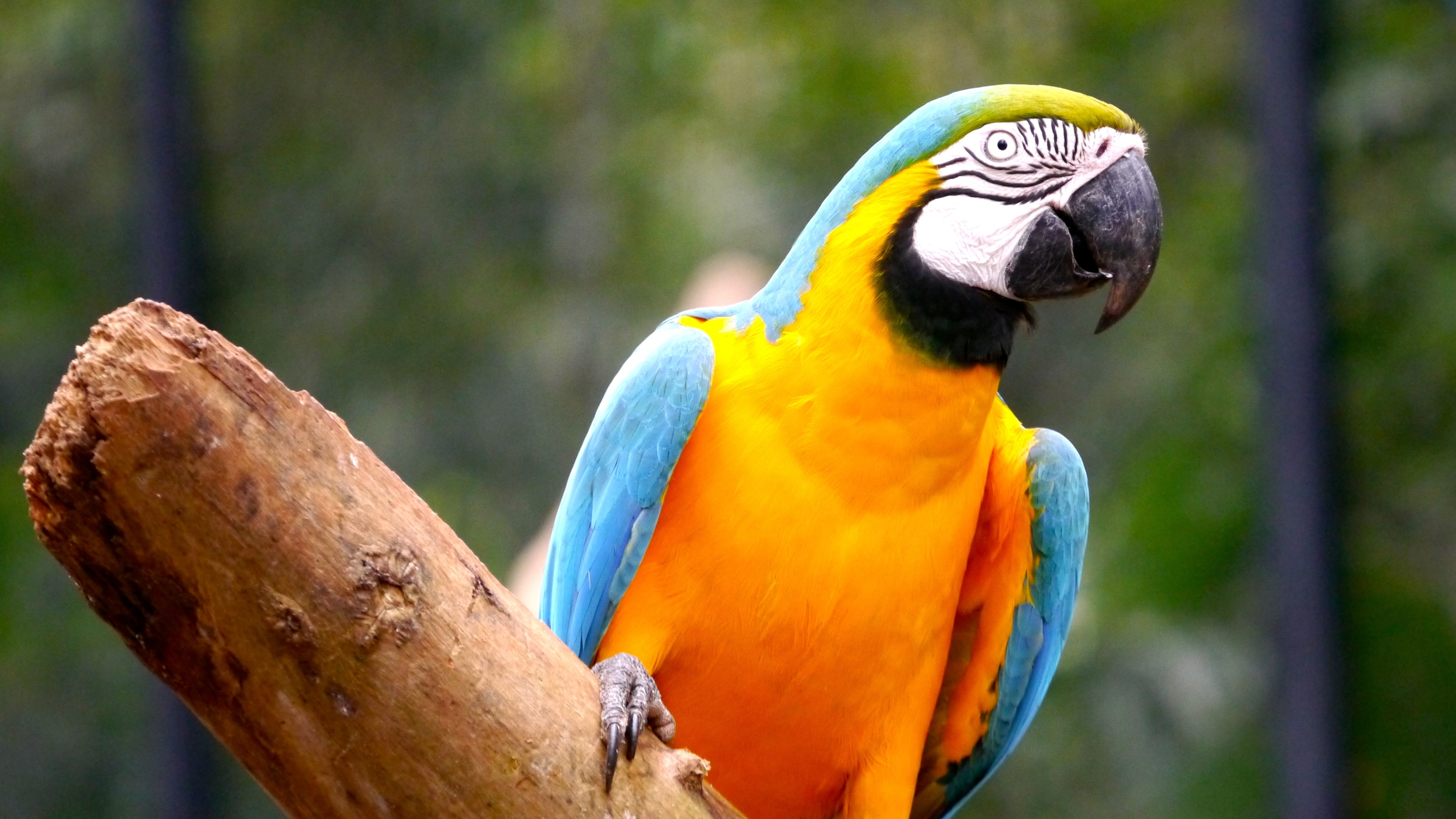 (23)  This Blue and Gold Macaw sits inside an open-air aviary at the Bird Park..JPG