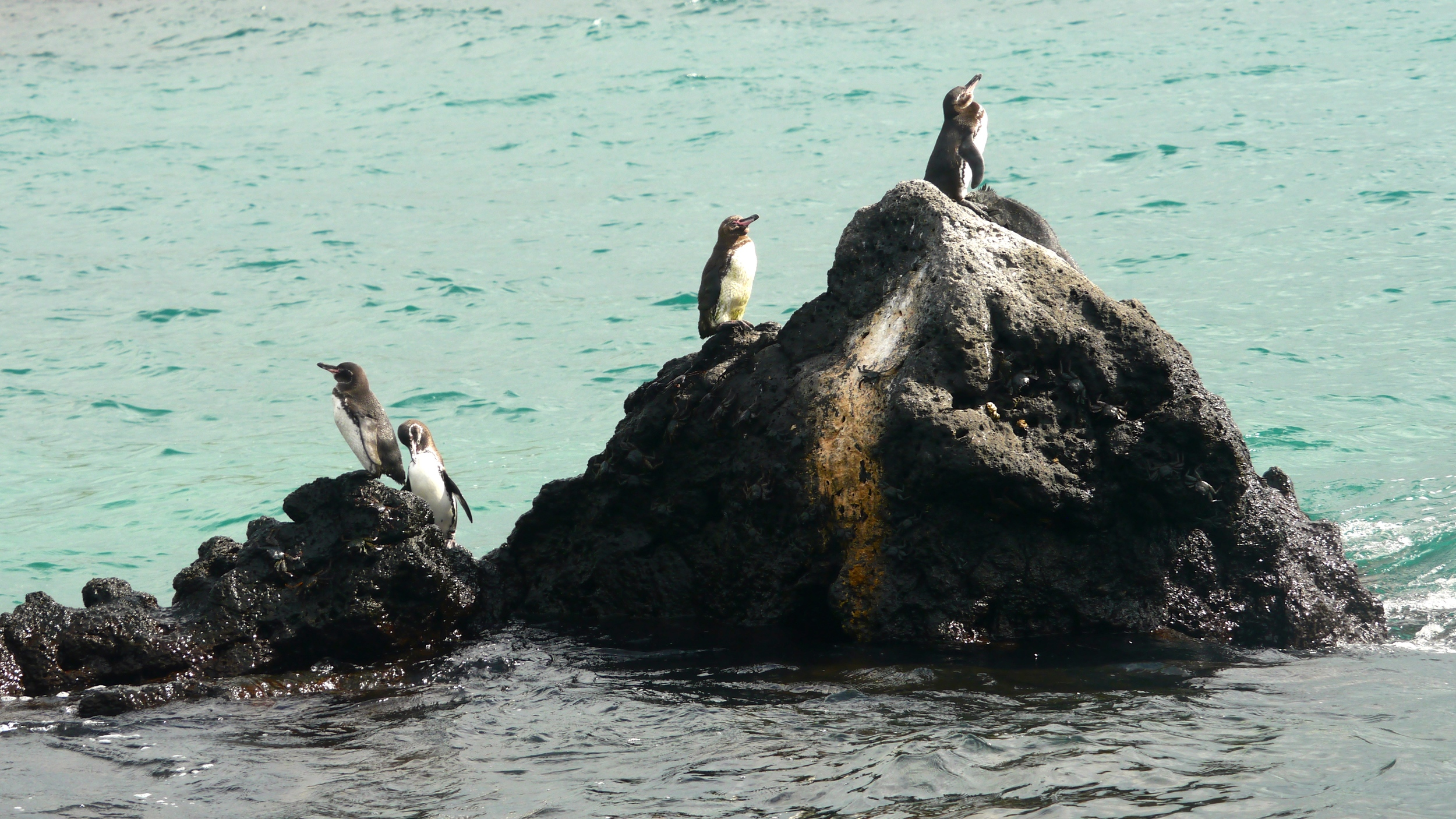 Day 4 (Galapagos Penguins).JPG
