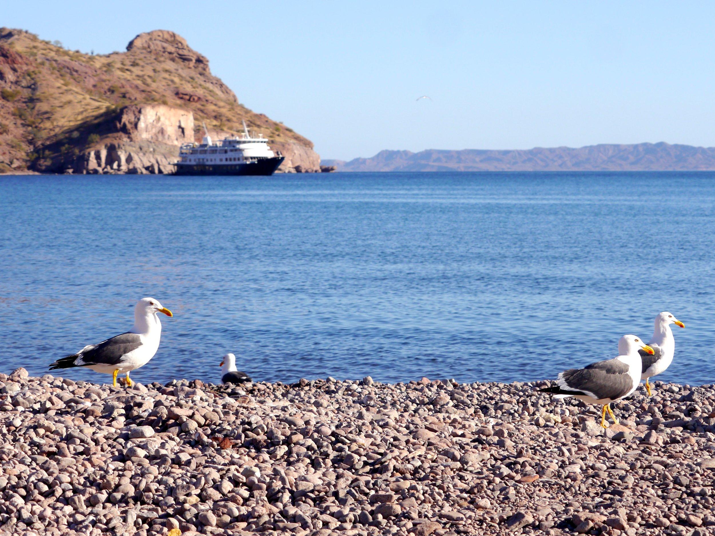 3-27-17 Yellow-legged Gull ship copy.jpg