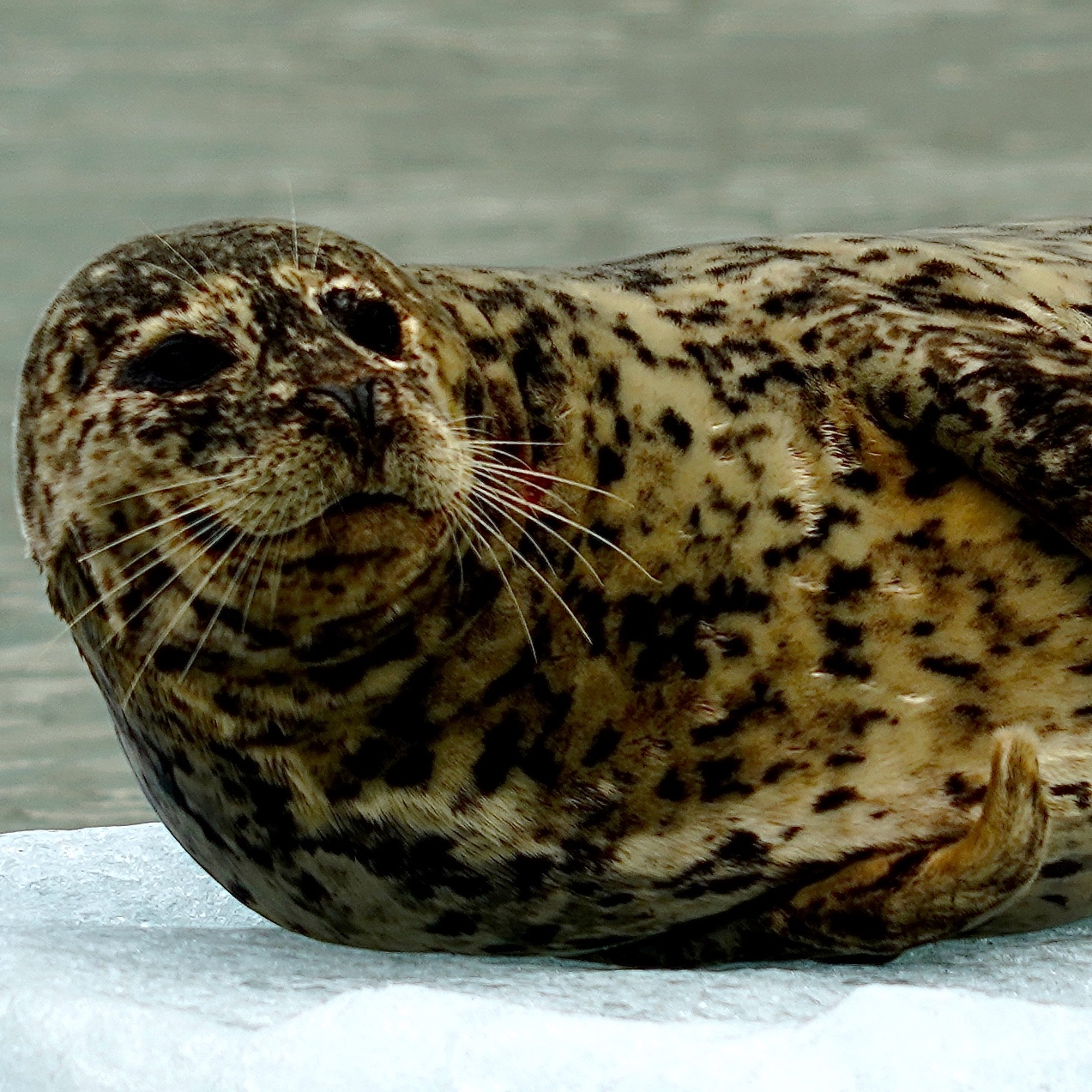 6-27-18 Harbor seal slight turn face CU copy 2.JPG