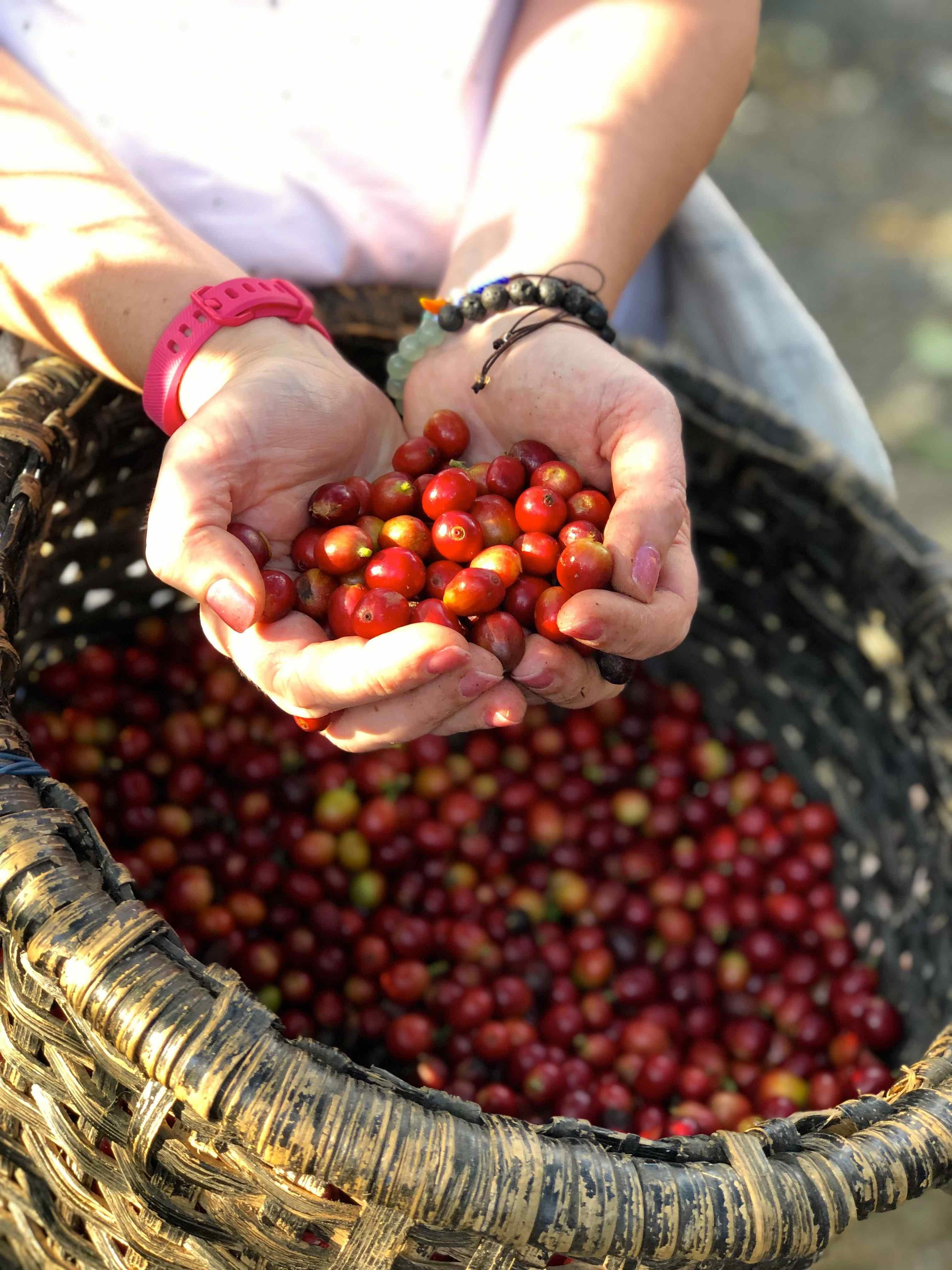 Coffee cherries in Costa Rica