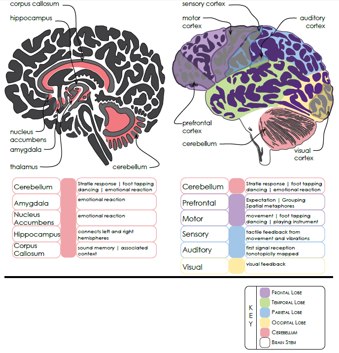 The Anatomy of the Brain - Major sound and music computational centres of the brain. [Right] Side View: front brain is to the left [Left] Cross Section: Same orientation The Primary Auditory cortex is the first area to receive and decode pitch. It is Tonotopically Mapped. The Cerebellum is the oldest part of the brain. It is responsible for the primal response to sound (Startle and Movement). Diagram adapted from original illustrations by Mark Tramo 2001 (LEVITIN, Daniel J, 2007) and (BALL, Phillip, 2011).