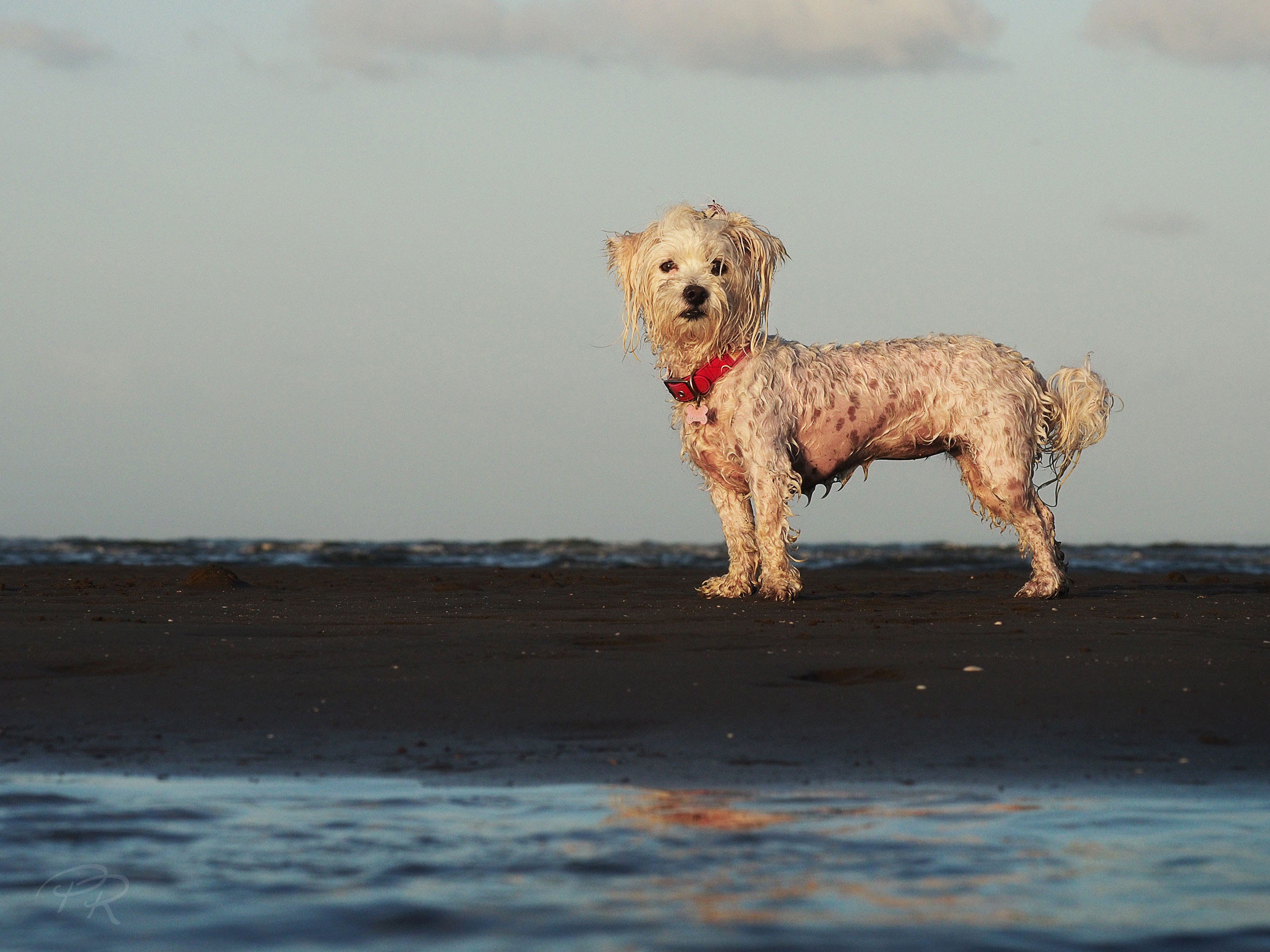 Poodle-Nudgee-White-dog_1_cr.jpg