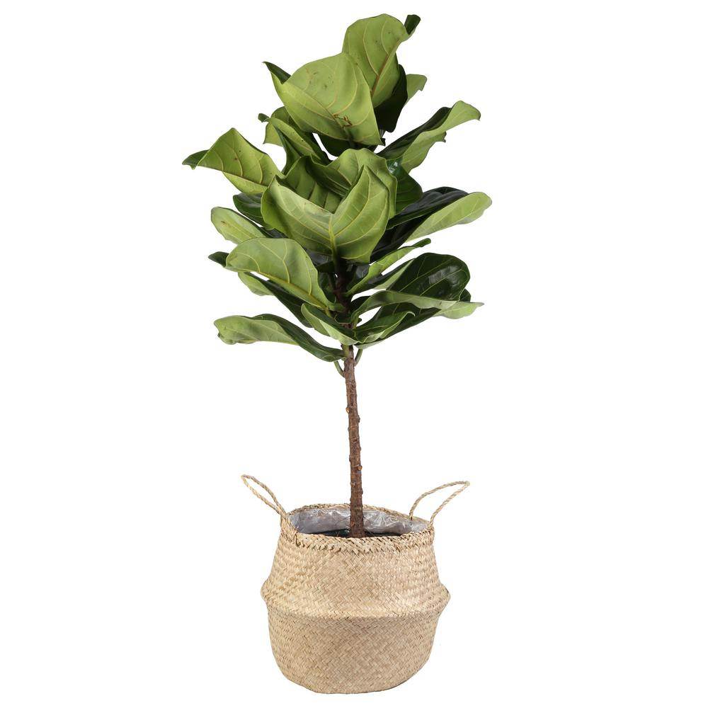 Sydney: Fiddle Leaf Fig in Seagrass Neutral Basket.  CLICK THE PIC  to check it out!