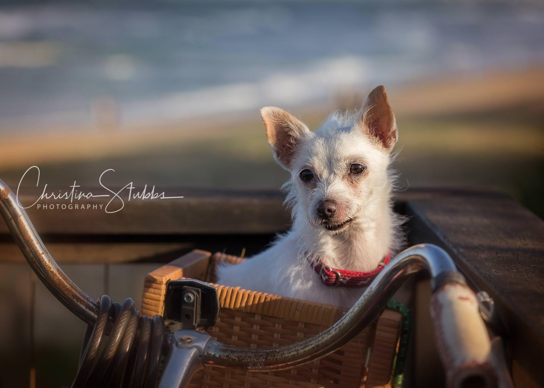 Cute dog in bike basket at Yaroomba Beach, Sunshine Coast