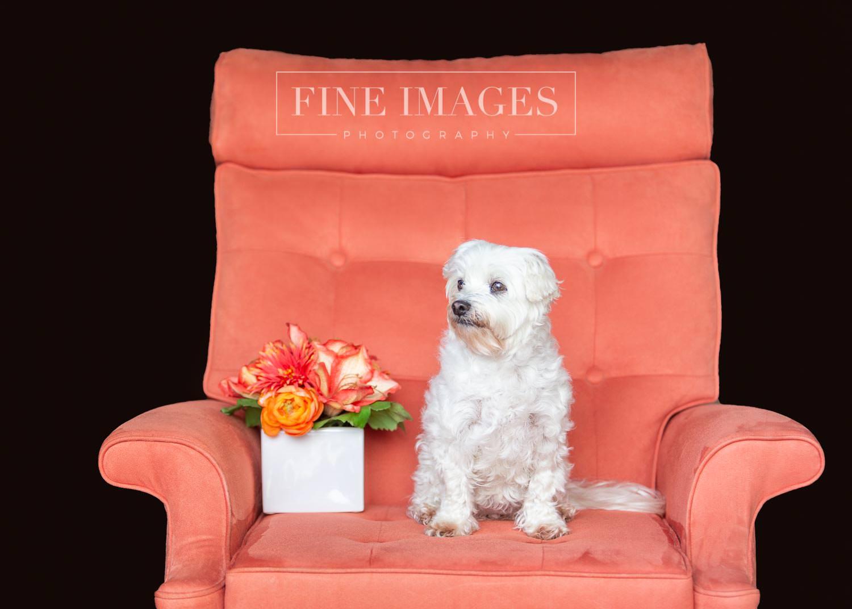 Maltese-Schitzu pet portrait Sunshine Coast