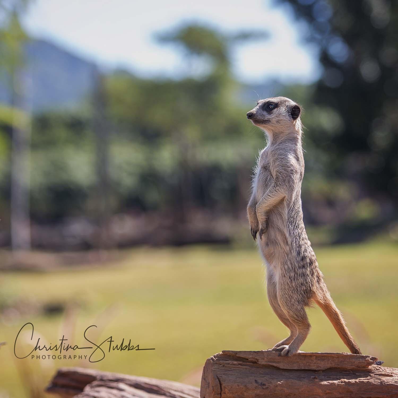 Meerkat on guard at Australia Zoo, Sunshine Coast.