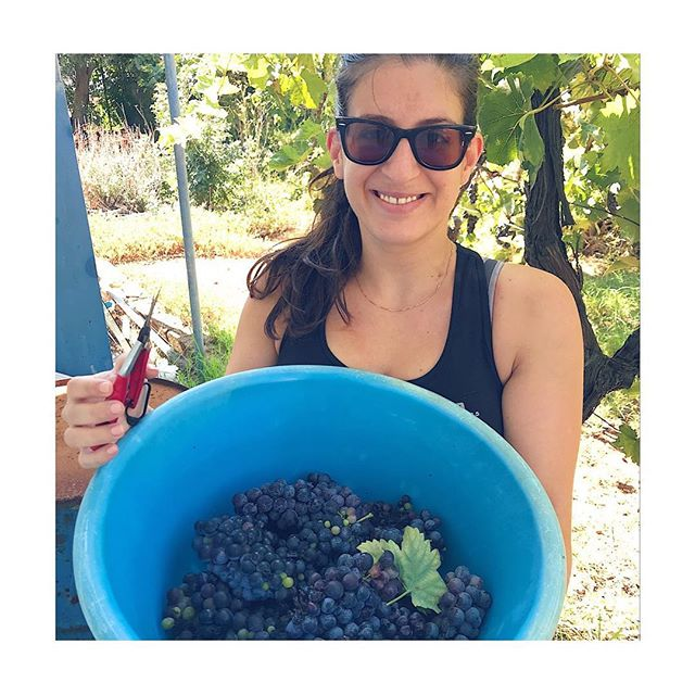 Harvesting Agiorgitiko grapes � at our tiny family vineyard in Marathon, Greece 🇬🇷 this weekend! Difficult year, there was a lot of rain ☔� during the ripening season, so we had some uneven ripening and almost half of the grapes � were affected by botrytis �⠀ We still made 180 liters of grapes juice — half the quantity from last year — which will last us for about half a year or so. ⠀ Still, such an incredible fun to make your own wine! The whole family is there to help and it always ends with a big dinner and good wine to celebrate our hard work and another year that we are all together and healthy, making and sharing good wine with each other. Yamas! And until next year #kaitouchronou������