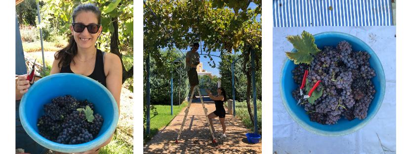 harvest 2018 in our family vineyard