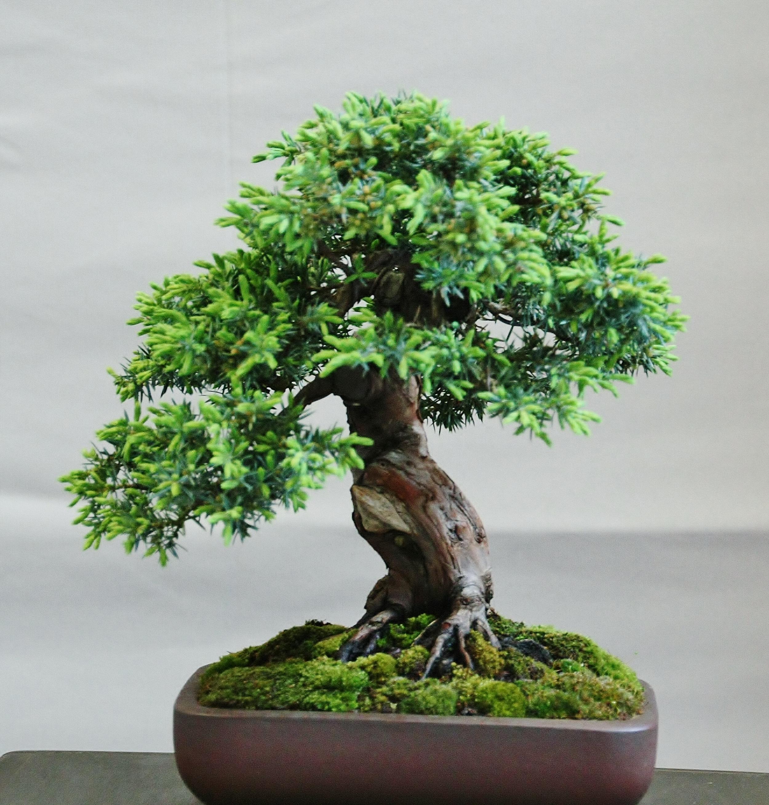 Juniperus chinensis `Sorte`