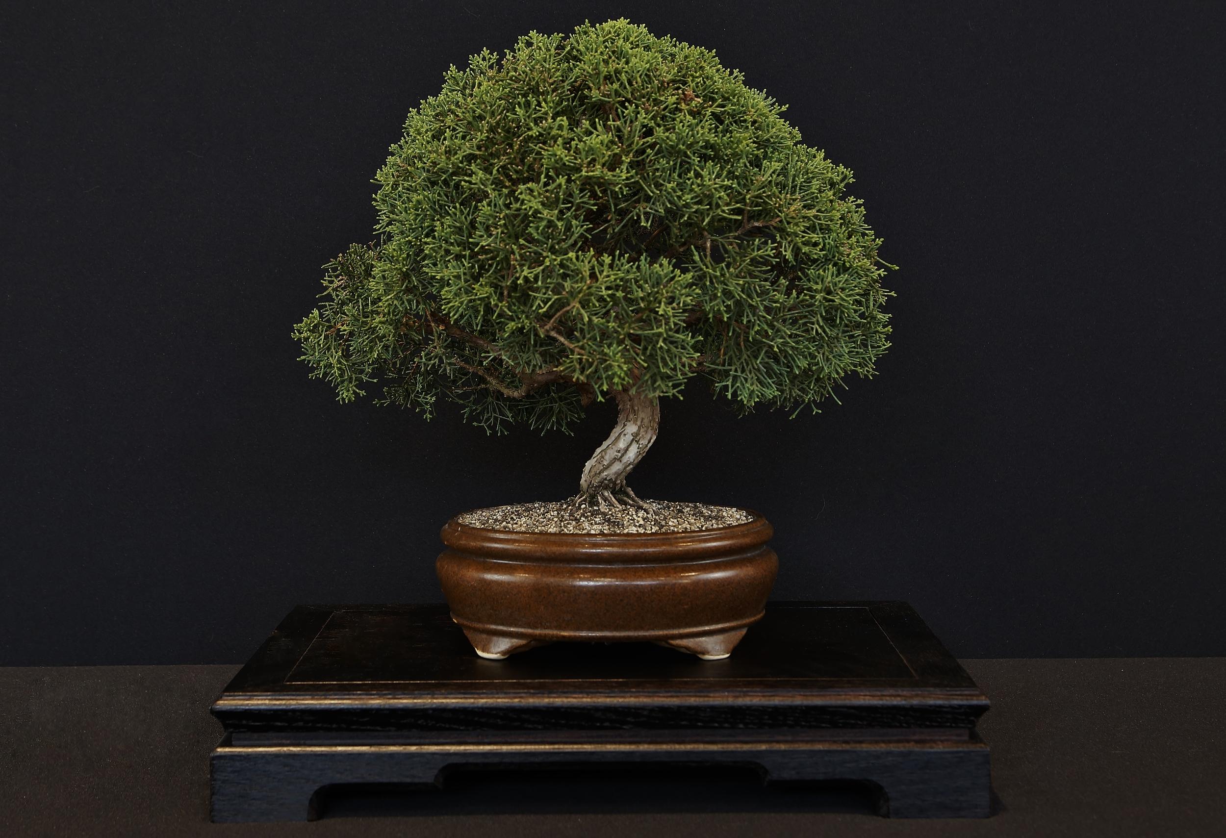 Juniperus 'Sorte'