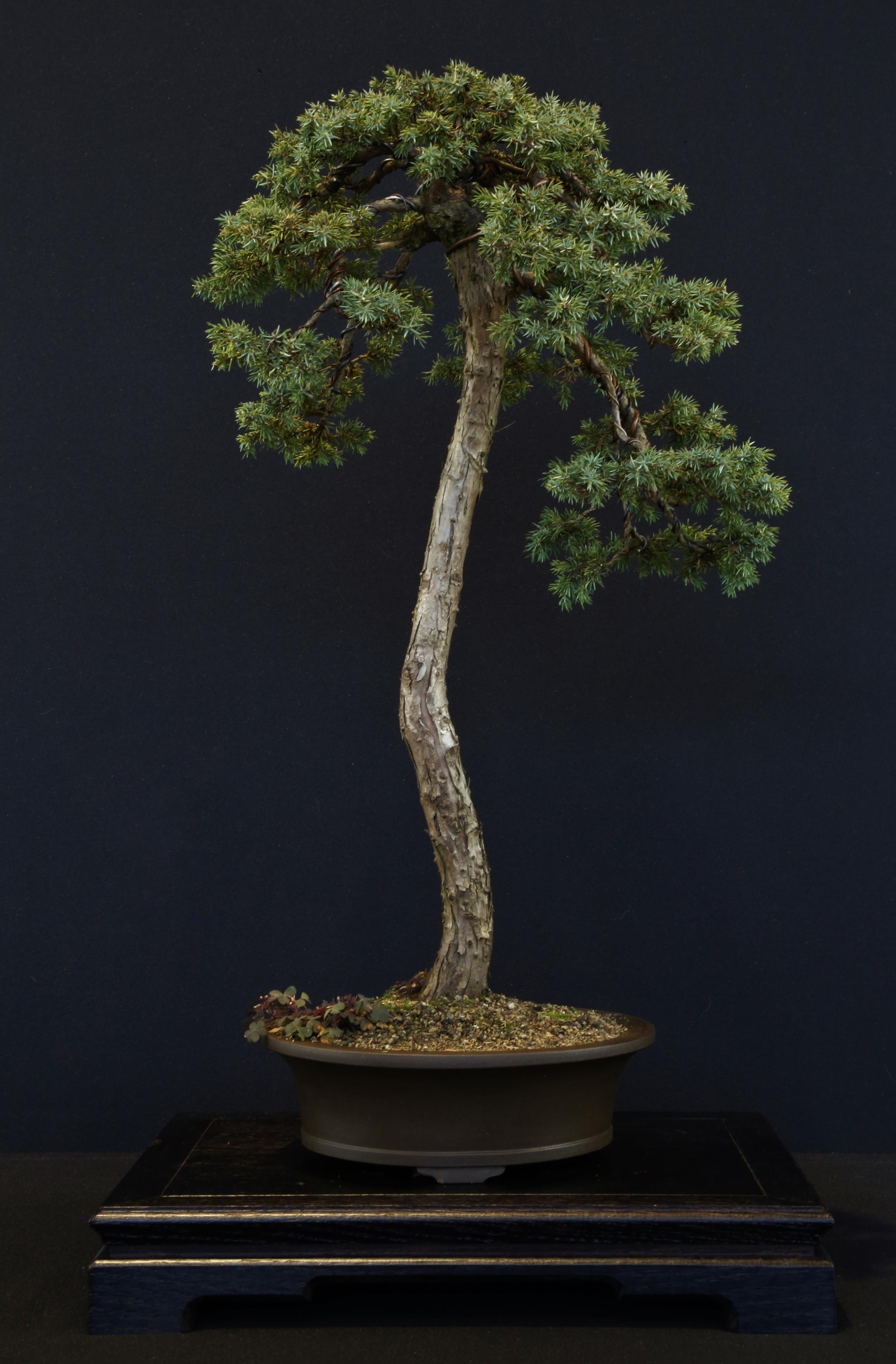Juniperus sinensis