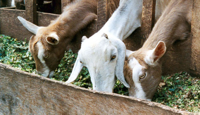 GB_goats_in_kenya.jpg