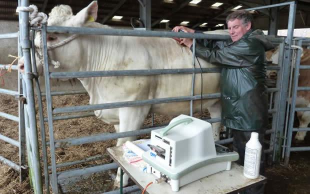 """Official ultrasonic scanner Jim Barber assesses back fat and muscling"""