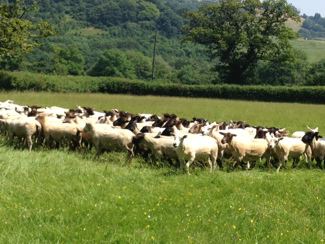 Peter Baber's flock of Ex-Lana, Texel & SufTex ewes