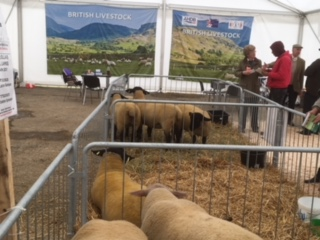 British Suffolk & British Charollais sheep on display
