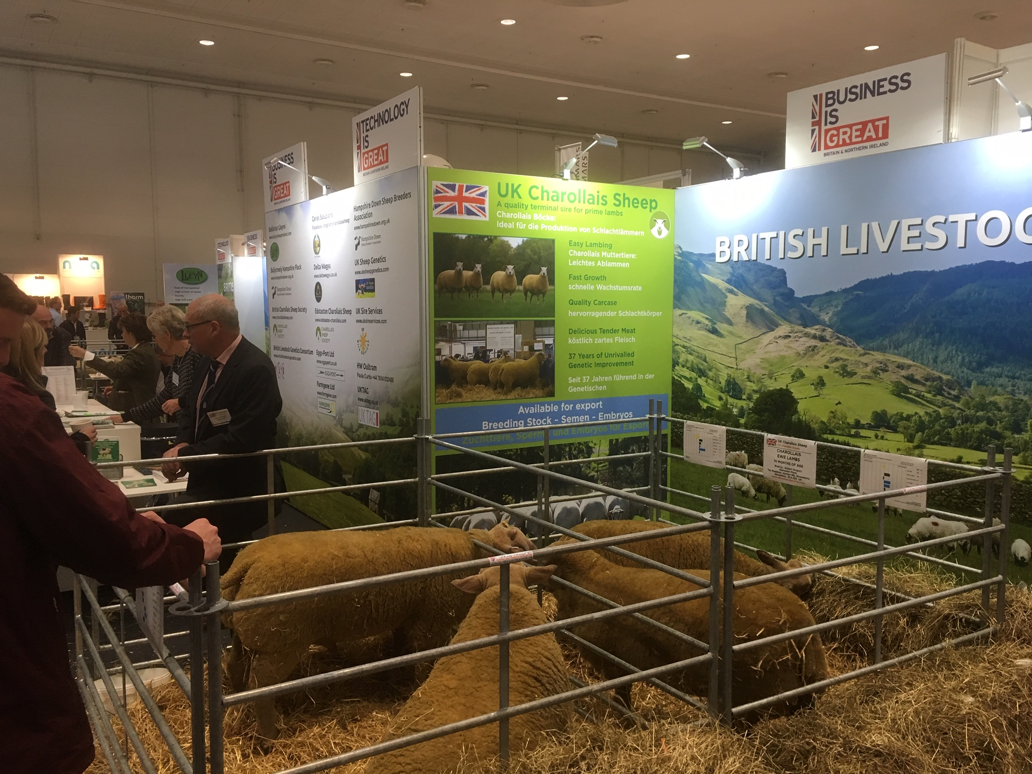 Charollais sheep on display