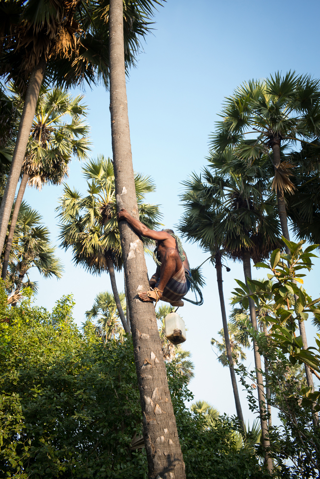 Unlike other areas where tappers sometimes use ropes to move from tree to tree, palmyra palms are all climbed individually.