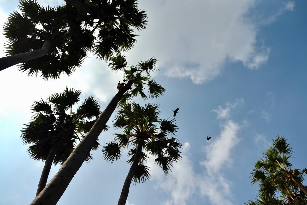 Palmyra palms can grow to 30 meters height.