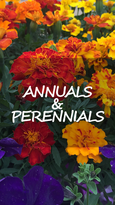 annual and periennal flowers for garden