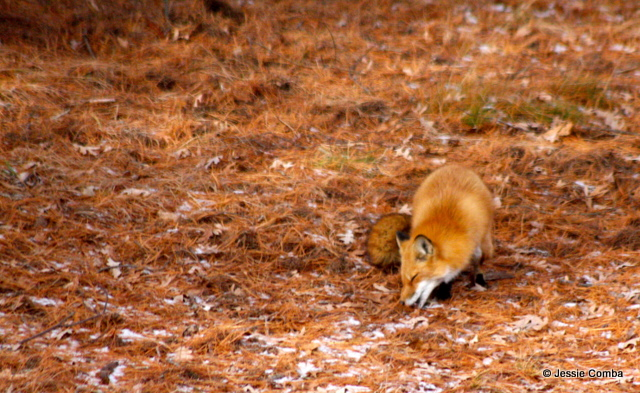A vixen finds a previously cached bird carcass  and begins to recover it from the frozen earth.