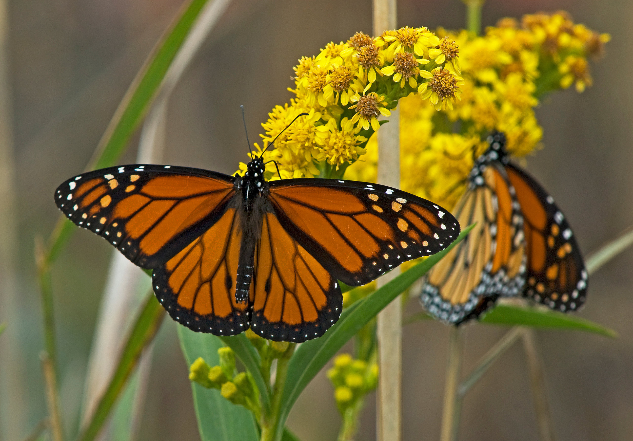 Monarchs on Goldenrod / Diane Abell 2010