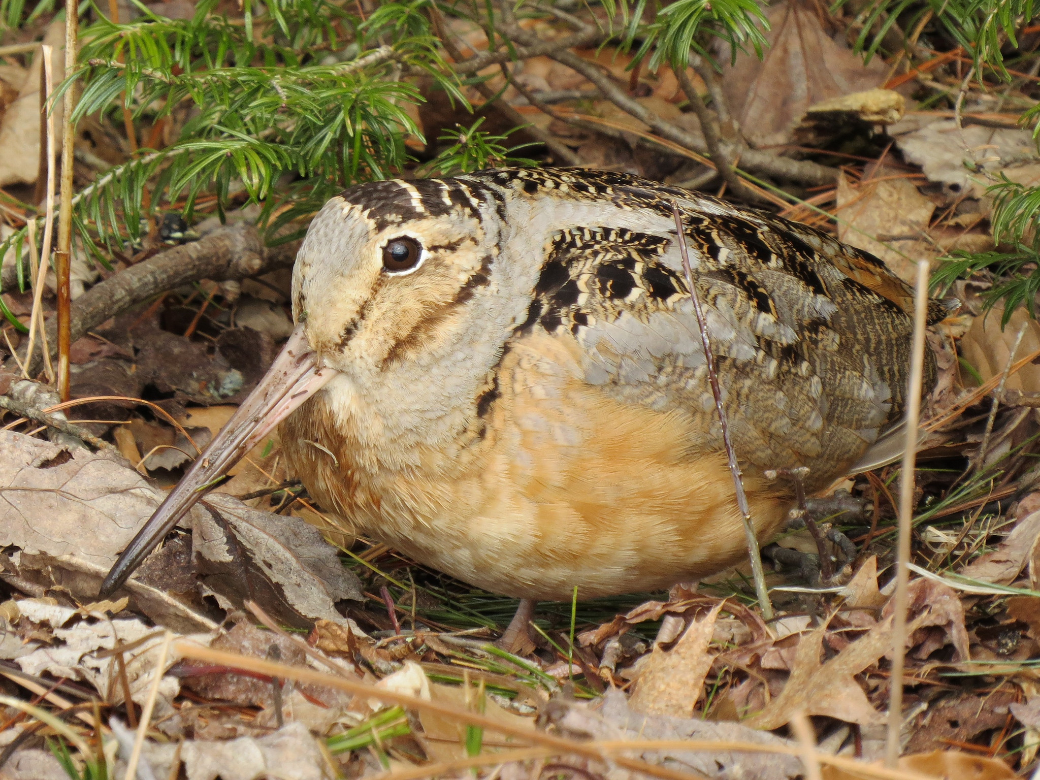 """American Woodcock  (Scolopax minor)                                                                                                                        Fyn Kynd        0   0   1   2   Seatuck Environmenal Association   1   1   2   14.0                      Normal   0           false   false   false     EN-US   JA   X-NONE                                                                                                                                                                                                                                                                                                                                                                              /* Style Definitions */ table.MsoNormalTable {mso-style-name:""""Table Normal""""; mso-tstyle-rowband-size:0; mso-tstyle-colband-size:0; mso-style-noshow:yes; mso-style-priority:99; mso-style-parent:""""""""; mso-padding-alt:0in 5.4pt 0in 5.4pt; mso-para-margin:0in; mso-para-margin-bottom:.0001pt; mso-pagination:widow-orphan; font-size:12.0pt; font-family:Cambria; mso-ascii-font-family:Cambria; mso-ascii-theme-font:minor-latin; mso-hansi-font-family:Cambria; mso-hansi-theme-font:minor-latin;}     © 2014"""
