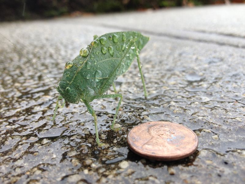 A True Katydid the author encountered on a sidewalk, likely washed out of a nearby tree during a storm.