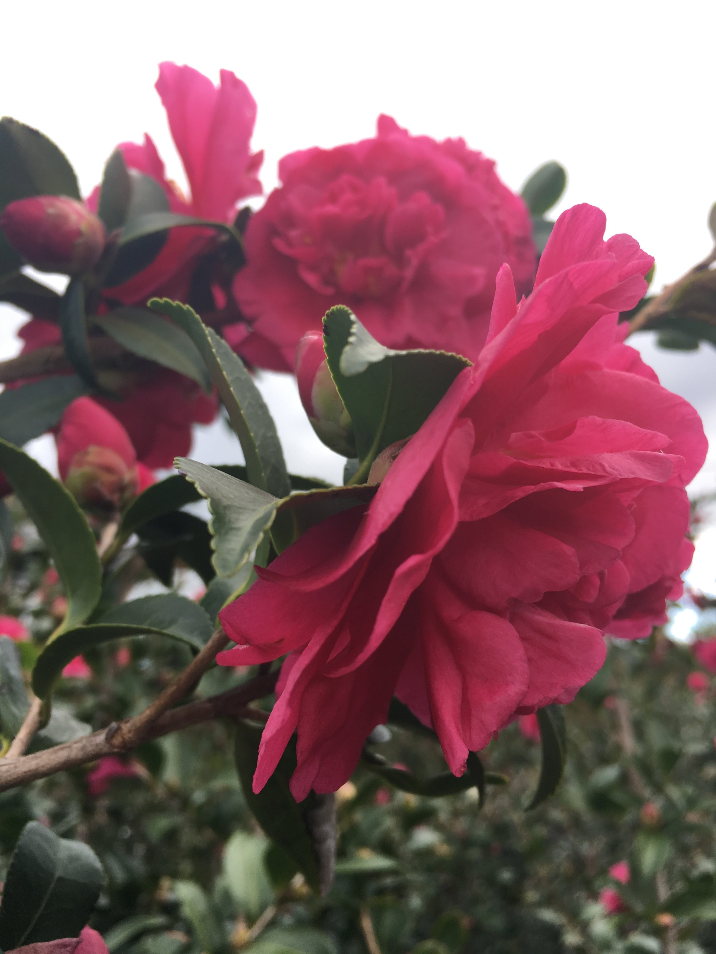 Blooming Camellias