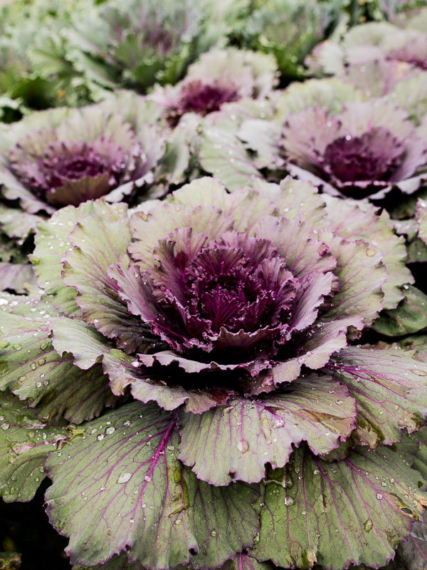 Edibles - Check out our hearty annuals that look good enough to eat… although we don't recommend it.