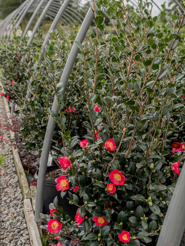 Christmas already??? - Show your love for the holidays early without being tacky by installing Yuletide Camellias.