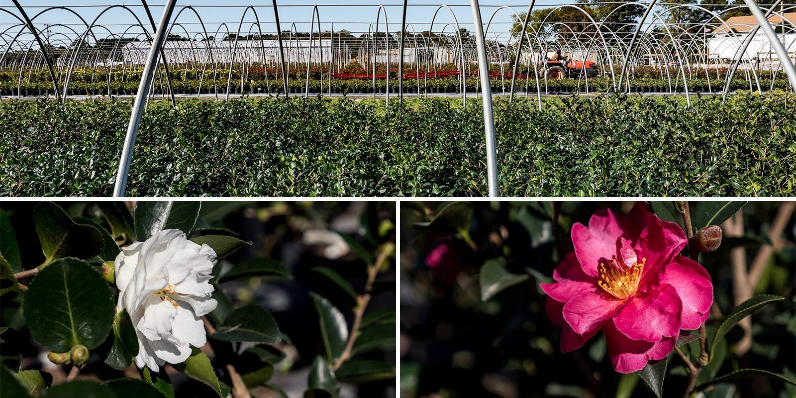 camellia_spread.jpg