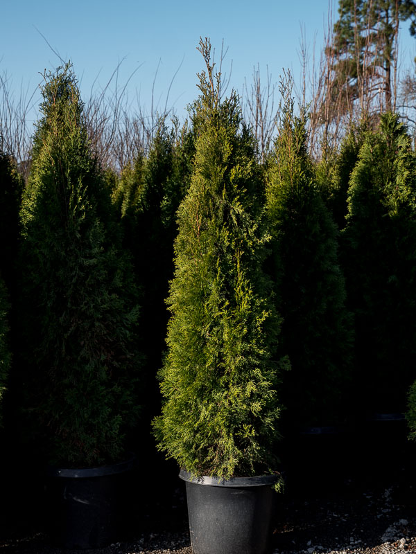 Emerald Green Arborvitae #6 Can 4' Grade