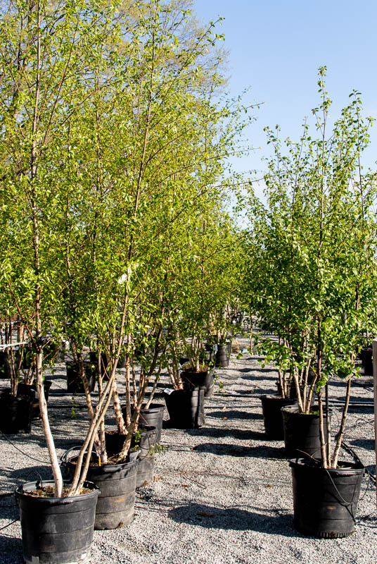 Excellent narrow front  yard tree for limited  spaces. It's a natural  around water where it  thrives in the moisture.