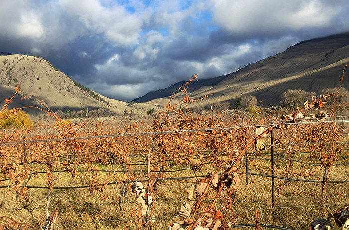 The vineyard in autumn. You can see the Chardonnay vines are looking a little scraggly!