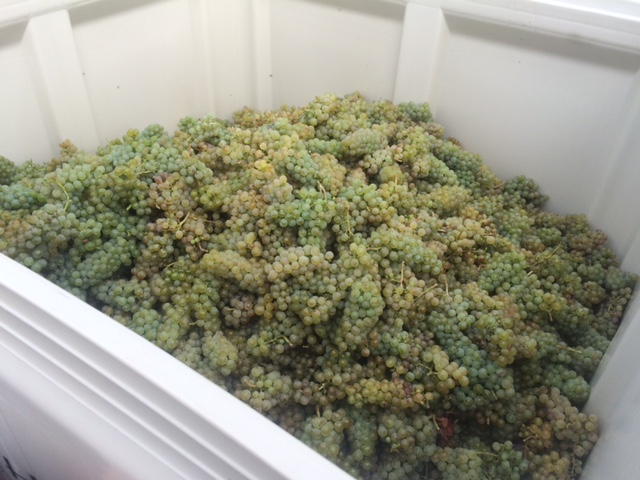 Happy Chardonnay bunches destined for Keenan & Madison's project