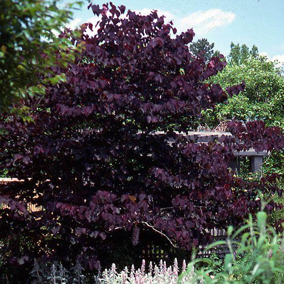 088cac2a2591a0b3f74f1398103935ff--cercis-gothic-garden.jpg