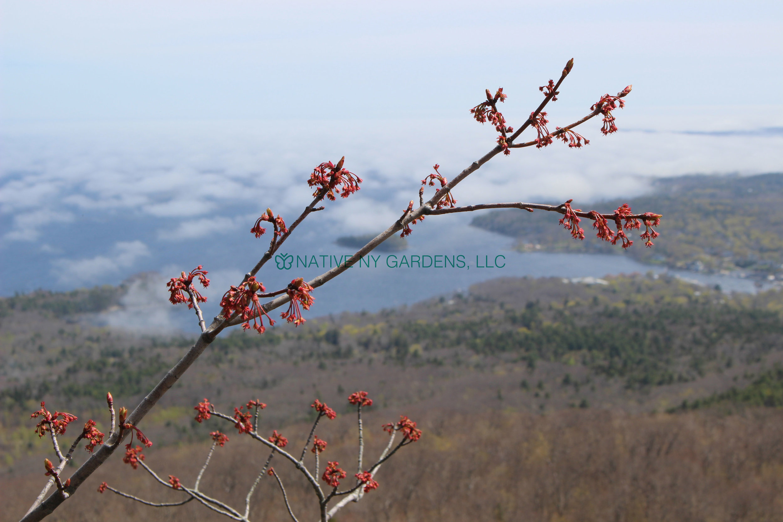 Photo by: Mackenzie Younger 'Red maple blooming on mountain in April'