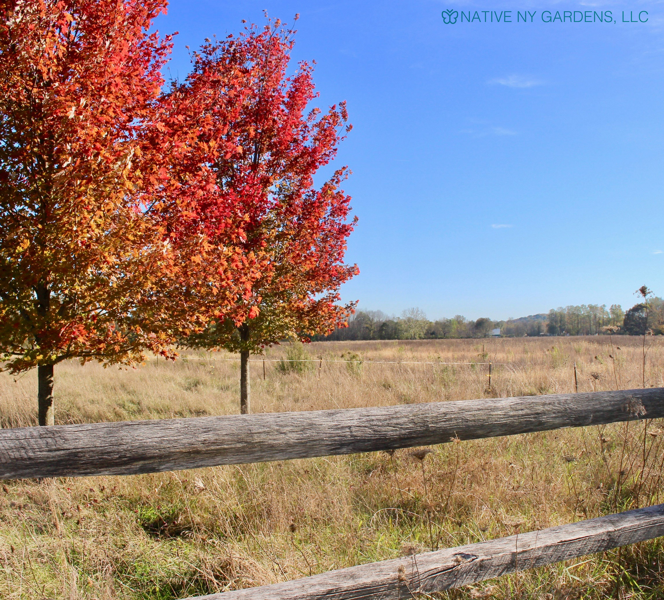 Photo by: Mackenzie Younger 'October Glory' Red maple cultivar on upstate New York farm