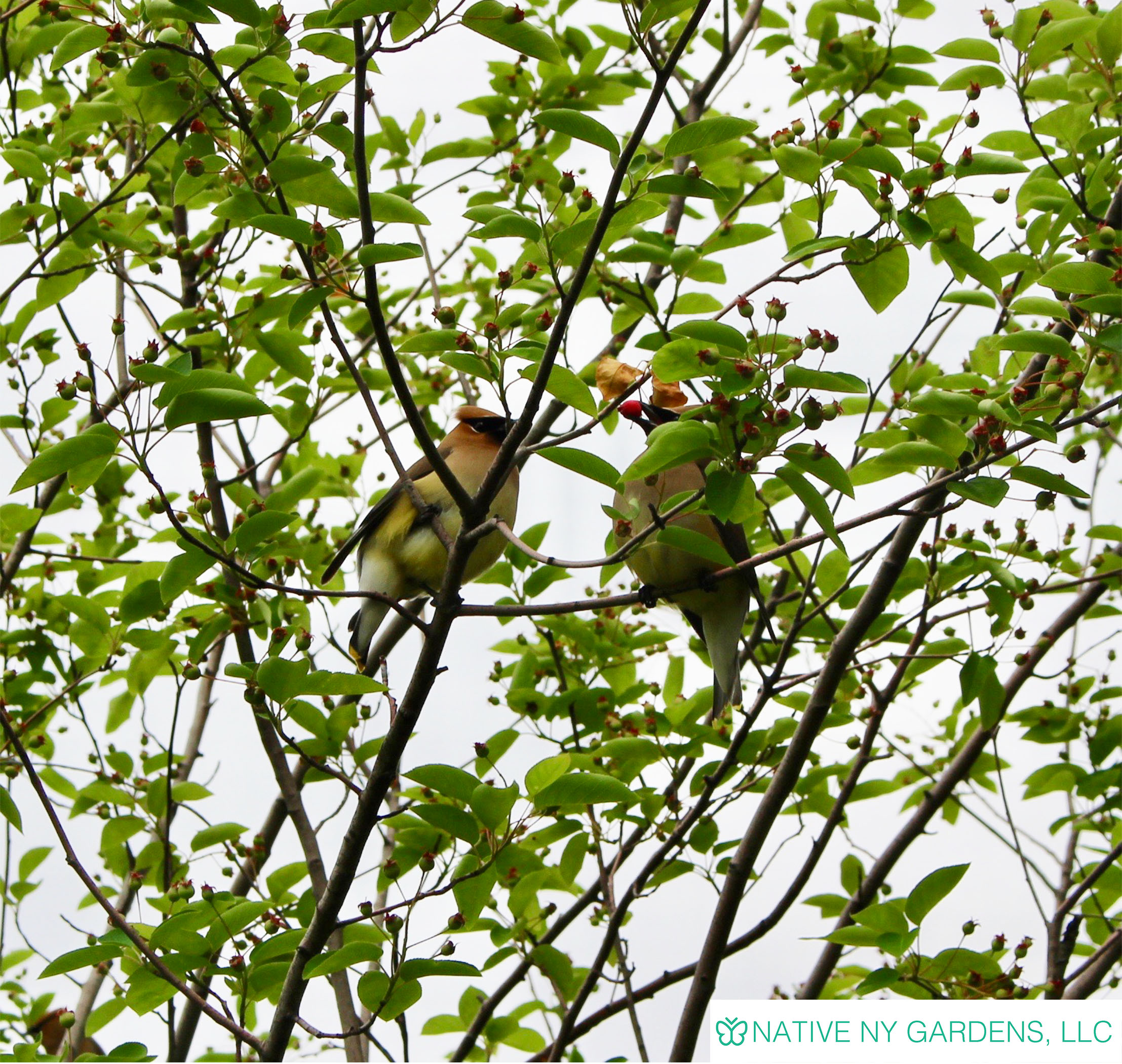 Photo by: Mackenzie Younger 'Cedar Wax Wings eating Amelanchier berries'