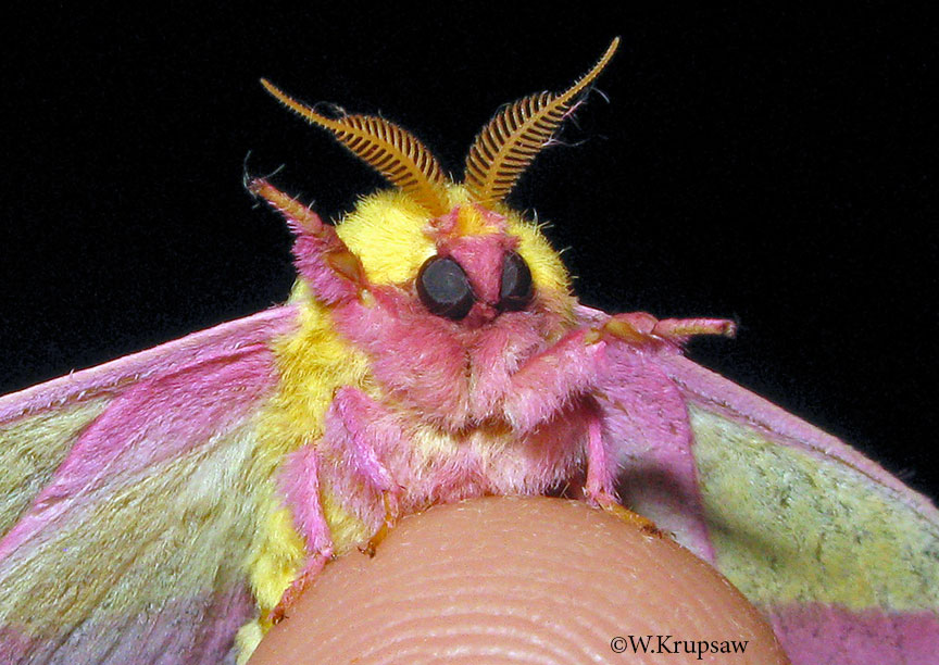 Rosy Maple Moth on someones finger tip