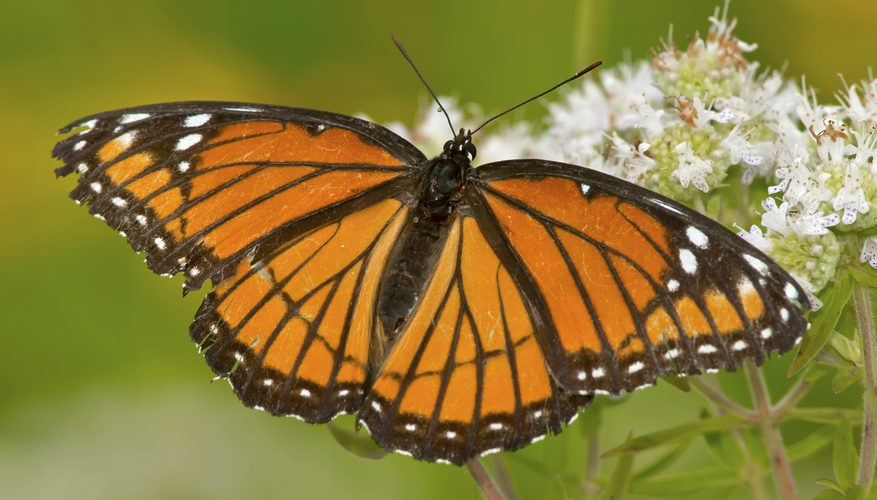 Viceroy Butterfly (which mimics the Monarch butterfly)