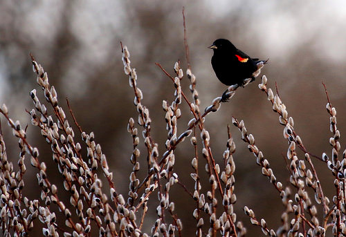 Pussy willow with Red Winged Black Bird