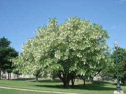 Fragrant white flowering shade trees that bloom at different times and decorate the floor with petals.