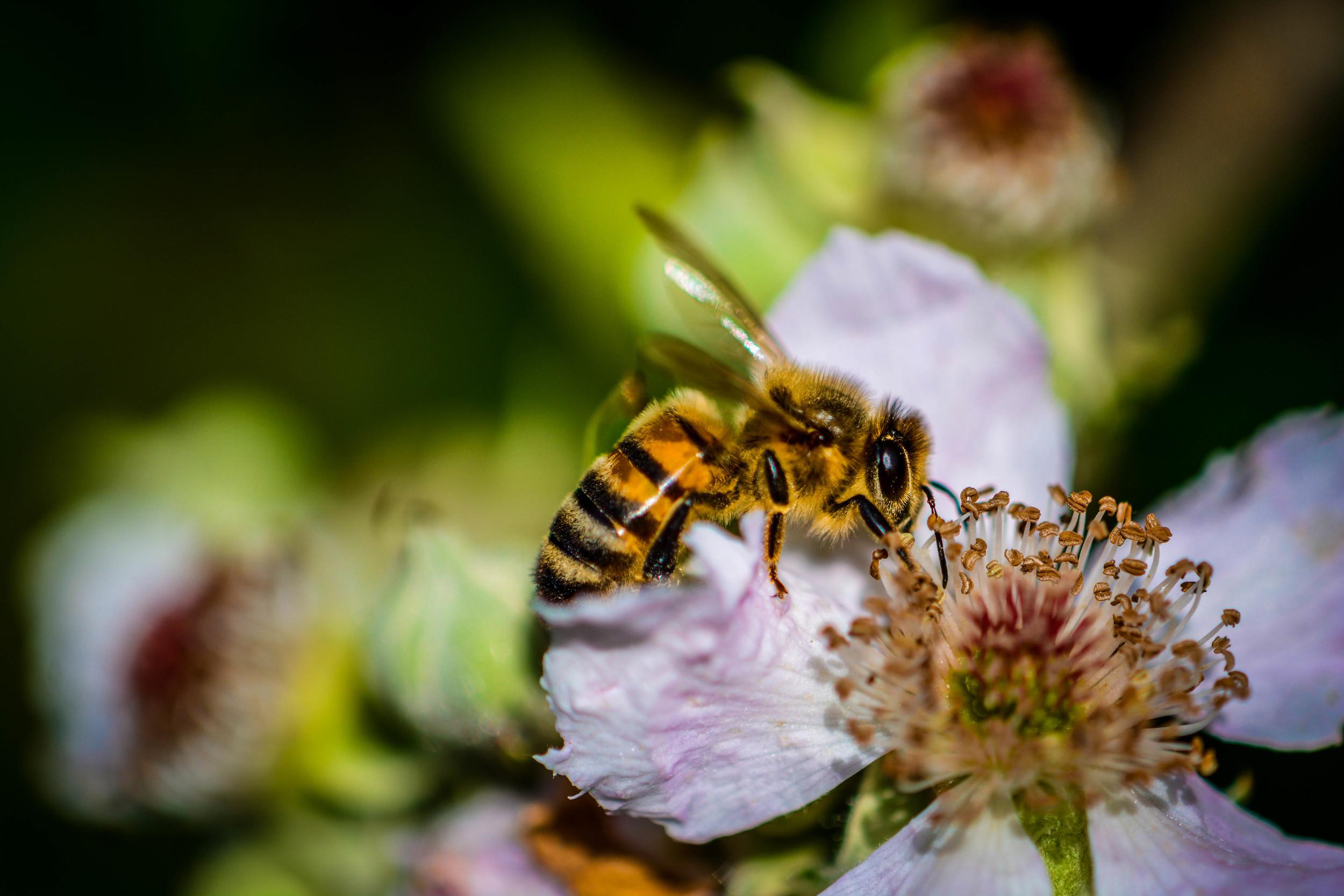 Bee 2 (1 of 1).jpg