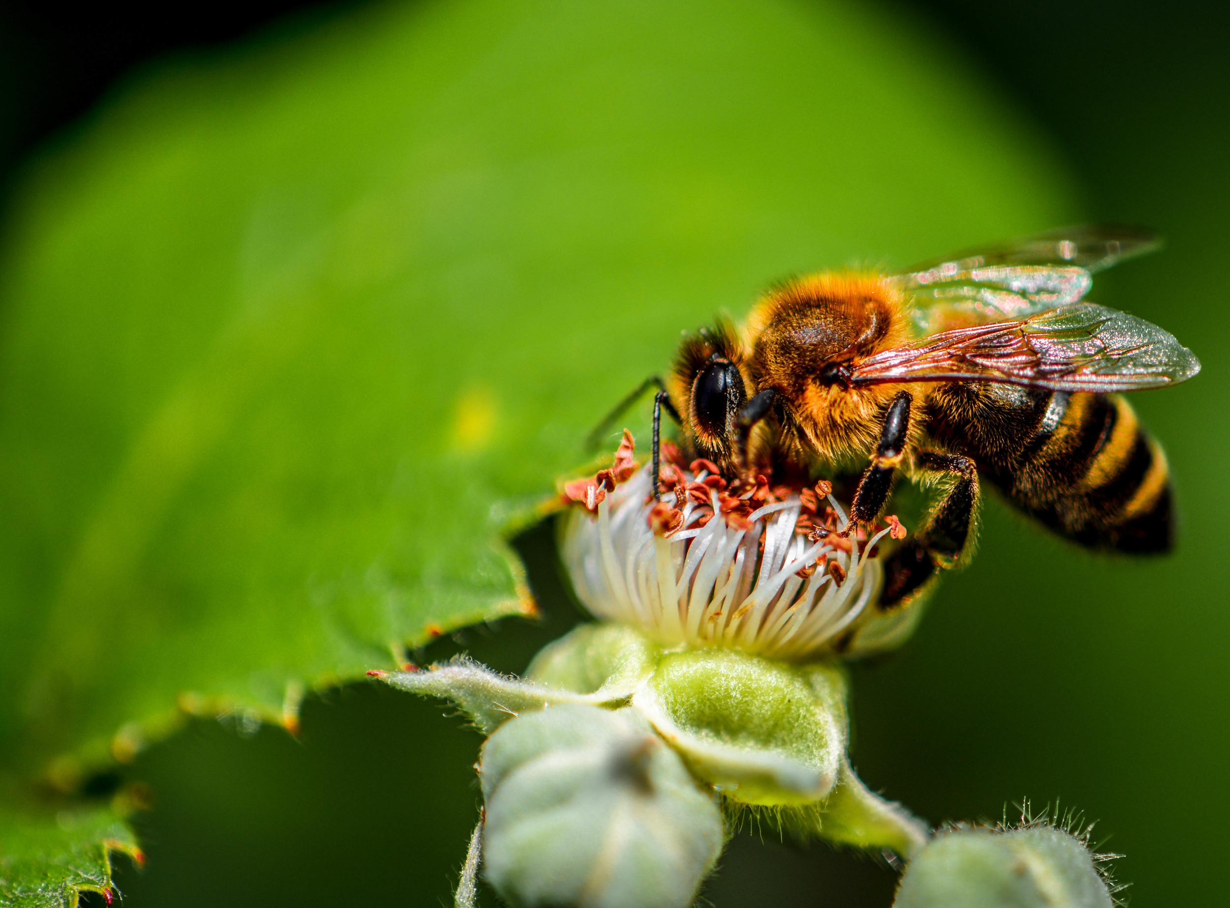 Bee 1 (1 of 1).jpg