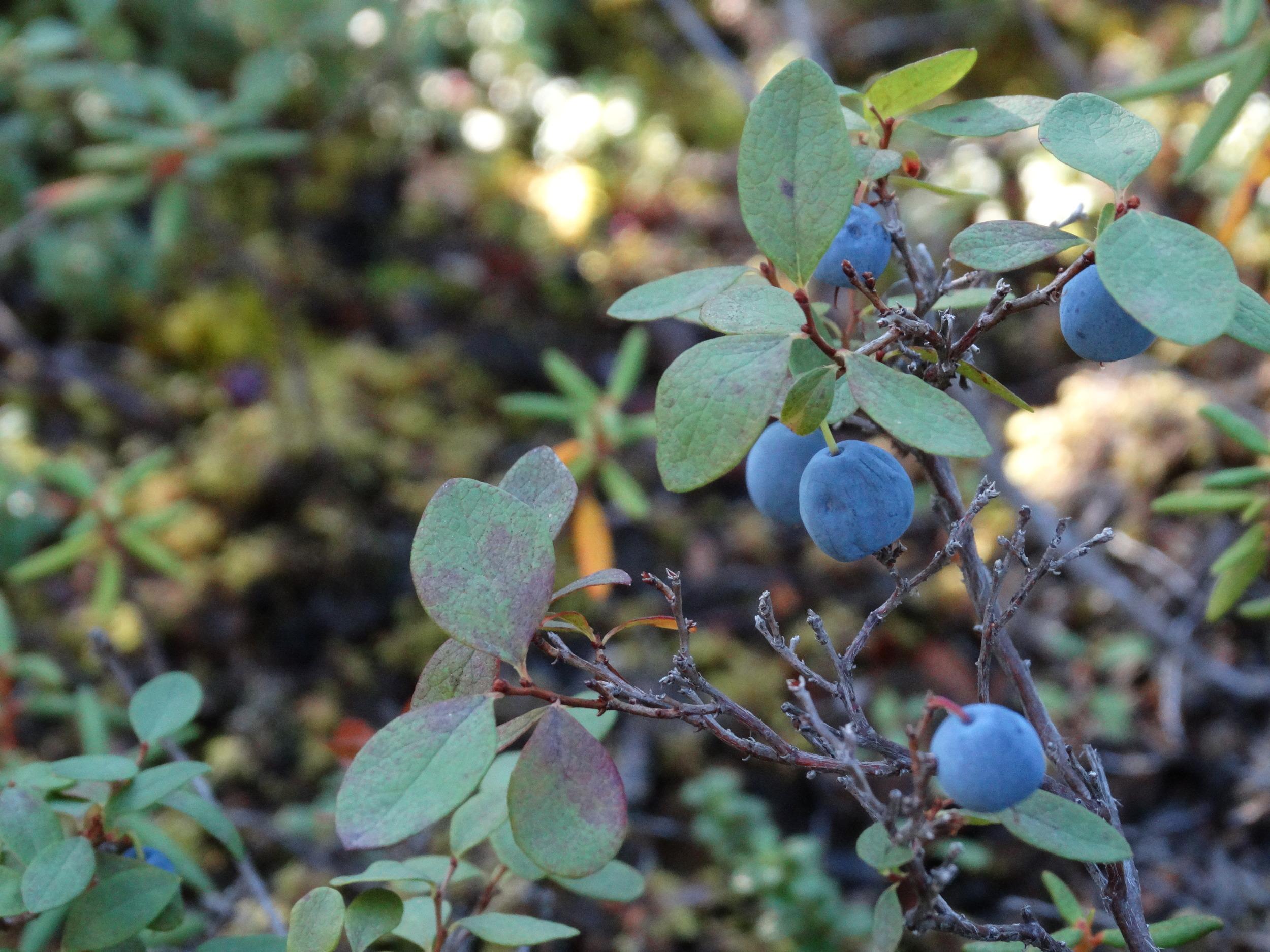Berries12.JPG